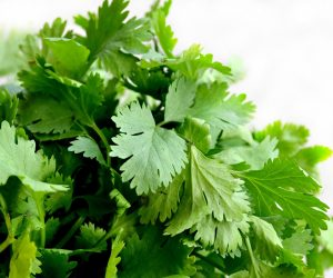 close up of cilantro herb