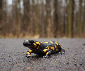 close up of a salamander on a road