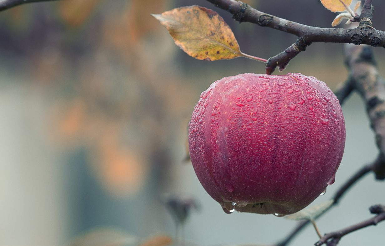 apple hanging from a tree in the rain