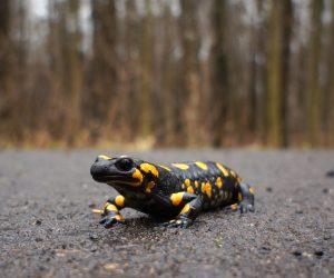 close up of a salamander on a road