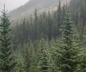 foggy hillside full of pine trees