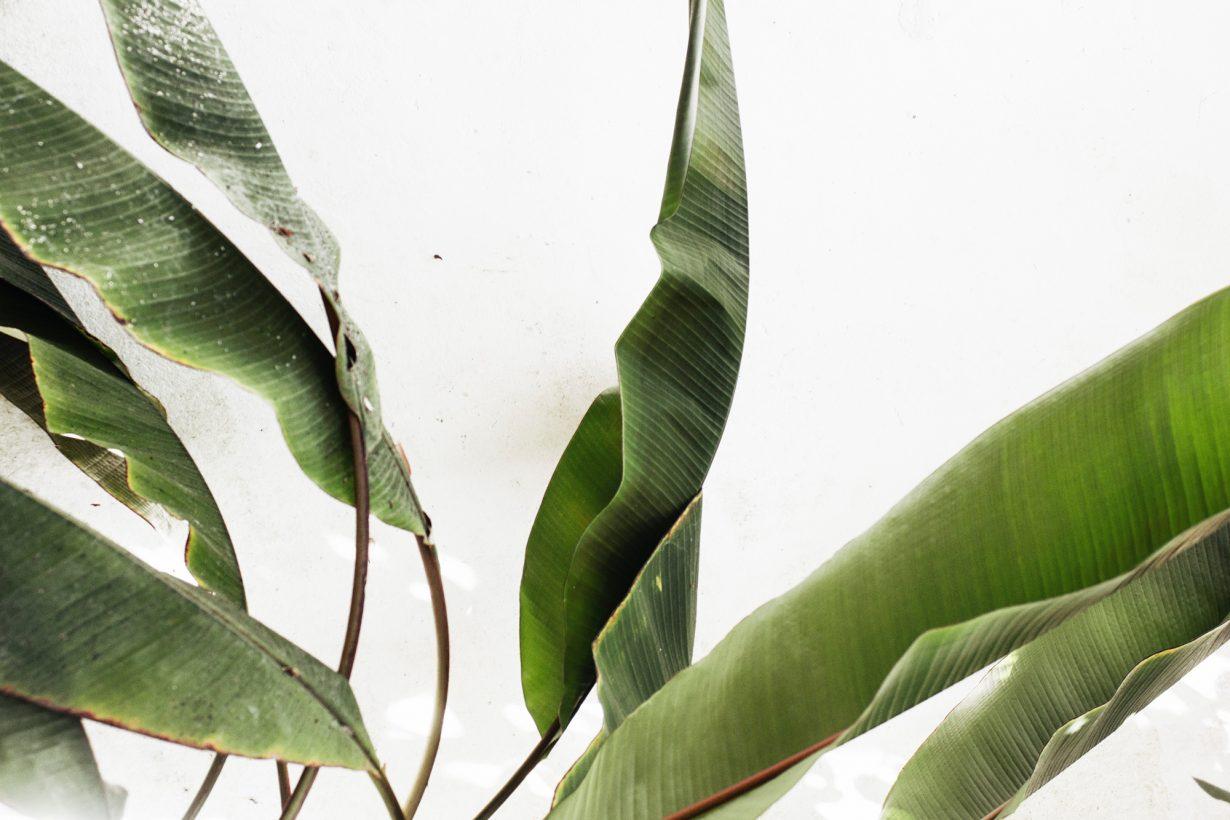 banana plant leaves
