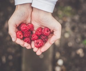 cupped hands full of red raspberries
