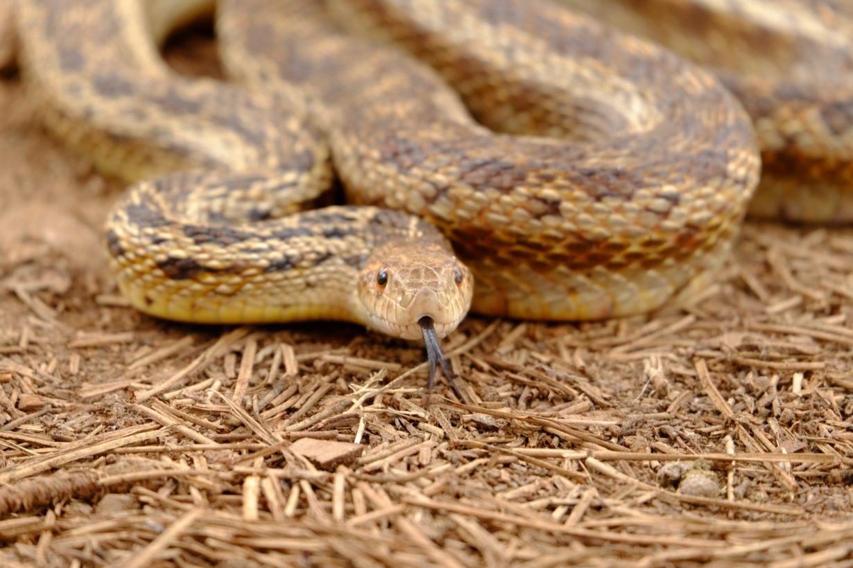 rattlesnake on the ground