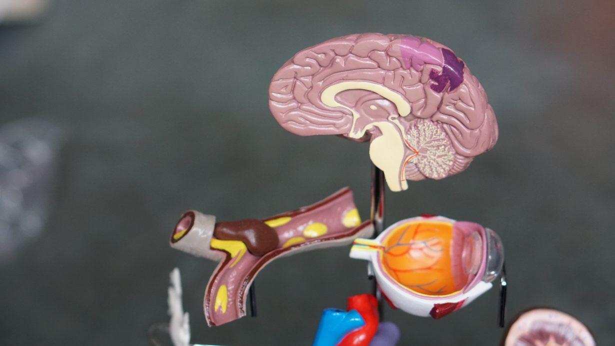 plastic 3D model of a human brain