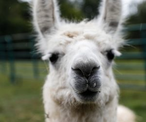 close up of a white llama's face