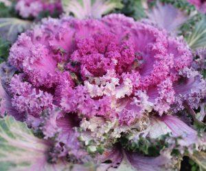 violet cabbage blossom