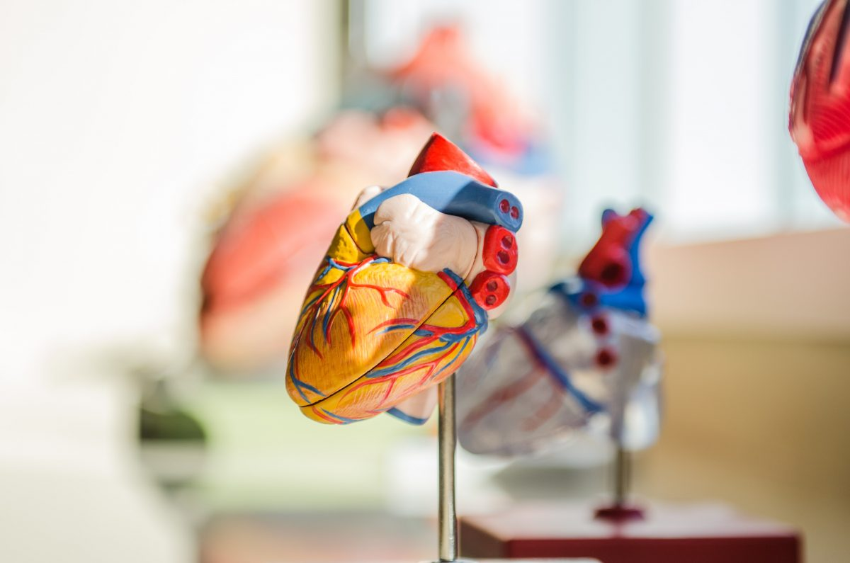 plastic model of a heart