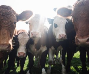 dairy cows huddling around a camera